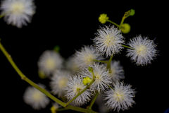White Mimosa sepiaria flower Royalty Free Stock Photo