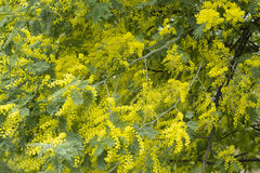 Mimosa, silver blue wattle, Acacia dealbata tree Royalty Free Stock Photos