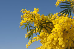 Mimosa in the sky Stock Image