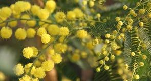 Mimosa som ger kvinnor i de internationella kvinnornas dag på 8 mars Royaltyfria Foton