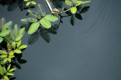 Mimosa som växer i vatten Arkivbilder