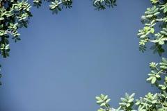 Mimosa som växer i vatten Royaltyfri Bild