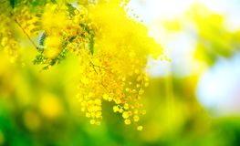Mimosa. Spring Easter background. Blooming mimosa tree. Over blue sky royalty free stock photography