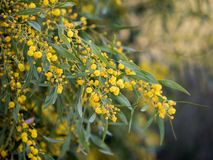 Mimosa spring flowers Royalty Free Stock Photography