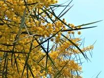 Mimosa Spring Flowers stock image