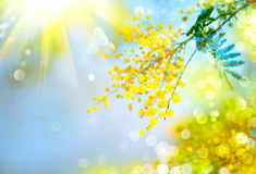 Mimosa. Spring flowers Easter background Royalty Free Stock Images