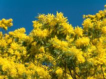 Mimosa spring flowers tree. Mimosa or silver wattle yellow spring flowers tree on the vibrant blue sky background stock photography