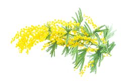 Mimosa spring tree flowers. On twig isolated on white background stock images