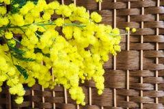 Mimosa su fondo di vimini Fotografie Stock Libere da Diritti