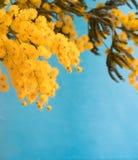 Mimosa sur le fond bleu Image libre de droits