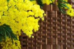 Mimosa sur le fond en osier Images stock
