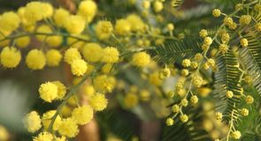 Mimosa to give women in the international women's day on 8 March Royalty Free Stock Photos