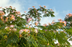 Mimosa Tree. Close up view of a Mimosa Tree, or Silk Tree in Florida stock image