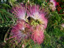 The Mimosa Tree. Also known as The Albizia Julibrissin Tree and the silk tree, produces a beautiful pink flower when in season. Bees, humming birds and stock photo