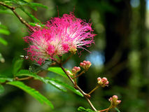 Mimosa tree bloom. A pink and white mimosa tree bloom Stock Photos