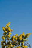 Mimosa tree in bloom. Blooming mimosa tree over blue sky royalty free stock photography