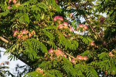 Mimosa tree in bloom Royalty Free Stock Photos
