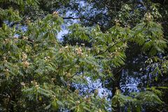 Mimosa Tree in Bloom. Colorful mimosa or silk tree in full bloom stock image