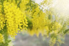Mimosa tree in bloom. A mimosa tree in bloom in spring, copy space for woman`s day or spring related images stock images