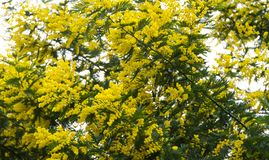 Mimosa tree blooms bright yellow holiday royalty free stock photos