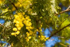 Mimosa tree blossom in spring time. Beautiful spring flowers on mimosa tree branch acacia dealbata on background of green foliage and blue sky, spring background stock photography