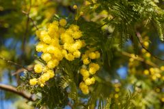 Mimosa tree blossom in spring time. Beautiful spring flowers on mimosa tree branch acacia dealbata on background of green foliage and blue sky,  spring stock photography