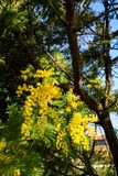 Mimosa Tree branches with yellow flowers and blue sky. South France holidays. Spring is coming. Early bloom.  stock photo