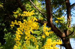 Mimosa Tree branches with yellow flowers and blue sky. South France holidays. Spring is coming. Early bloom.  royalty free stock photography