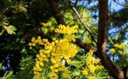 Mimosa Tree branches with yellow flowers and blue sky. South France holidays. Spring is coming. Early bloom.  royalty free stock image