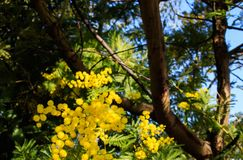 Mimosa Tree branches with yellow flowers and blue sky. South France holidays. Spring is coming. Early bloom.  stock photos