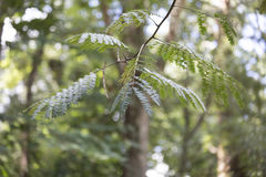Mimosa Tree. Close up of mimosa tree leaves and pods stock image