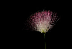 Mimosa tree flower. Flower from a Mimosa tree Albizia julibrissin on black stock photography