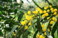 Mimosa tree flowers stock photography