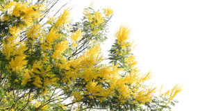 Mimosa tree over white background Royalty Free Stock Photography