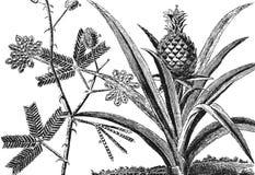 Mimosa tree. Pineapple tree Stock Images