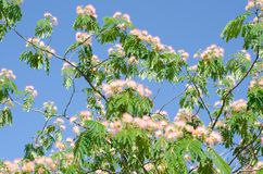 Mimosa tree with pink flowers. Mimosa tree with lots of pink flowers stock photography