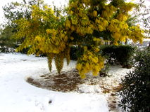 Mimosa tree in the snow. Tuscany, Italy royalty free stock image
