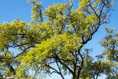 Mimosa Tree in Spain Stock Photography