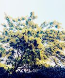 Mimosa Tree Royalty Free Stock Photo