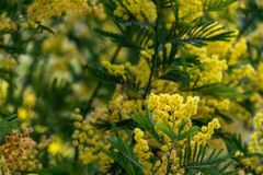 Mimosa tree with yellow flowers. Detail Mimosa tree with yellow flowers royalty free stock image