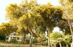 Mimosa trees Royalty Free Stock Photos