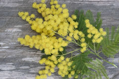 The mimosa twig. Mimosa branch to celebrate Women`s Day Stock Images