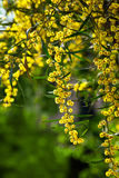 Mimosa. Type of tree flowers: mimosa Royalty Free Stock Images
