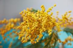 Mimosa, un símbolo del día del ` s de las mujeres y el despertar de la primavera en fondo de la turquesa Fotos de archivo
