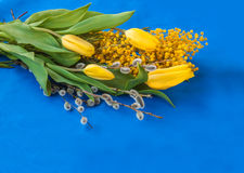 Mimosa, willow twigs and tulips on blue background Royalty Free Stock Photo