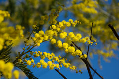 Mimosa of winters in Bordeaux. Stock Photography