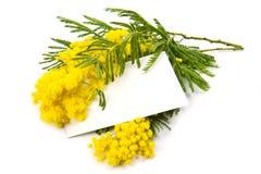 Mimosa, Women Day Stock Photo