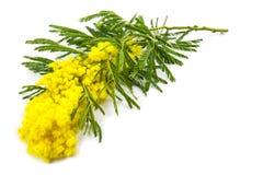 Mimosa, Women Day Stock Photos
