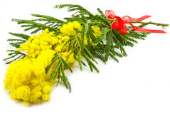 Mimosa, Women Day Royalty Free Stock Photography