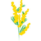 Mimosa for Women's Day Stock Image